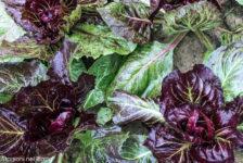 radicchio-orto-stagioni-nel-piatto
