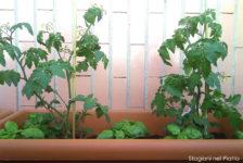 Pomodori e basilico in vaso