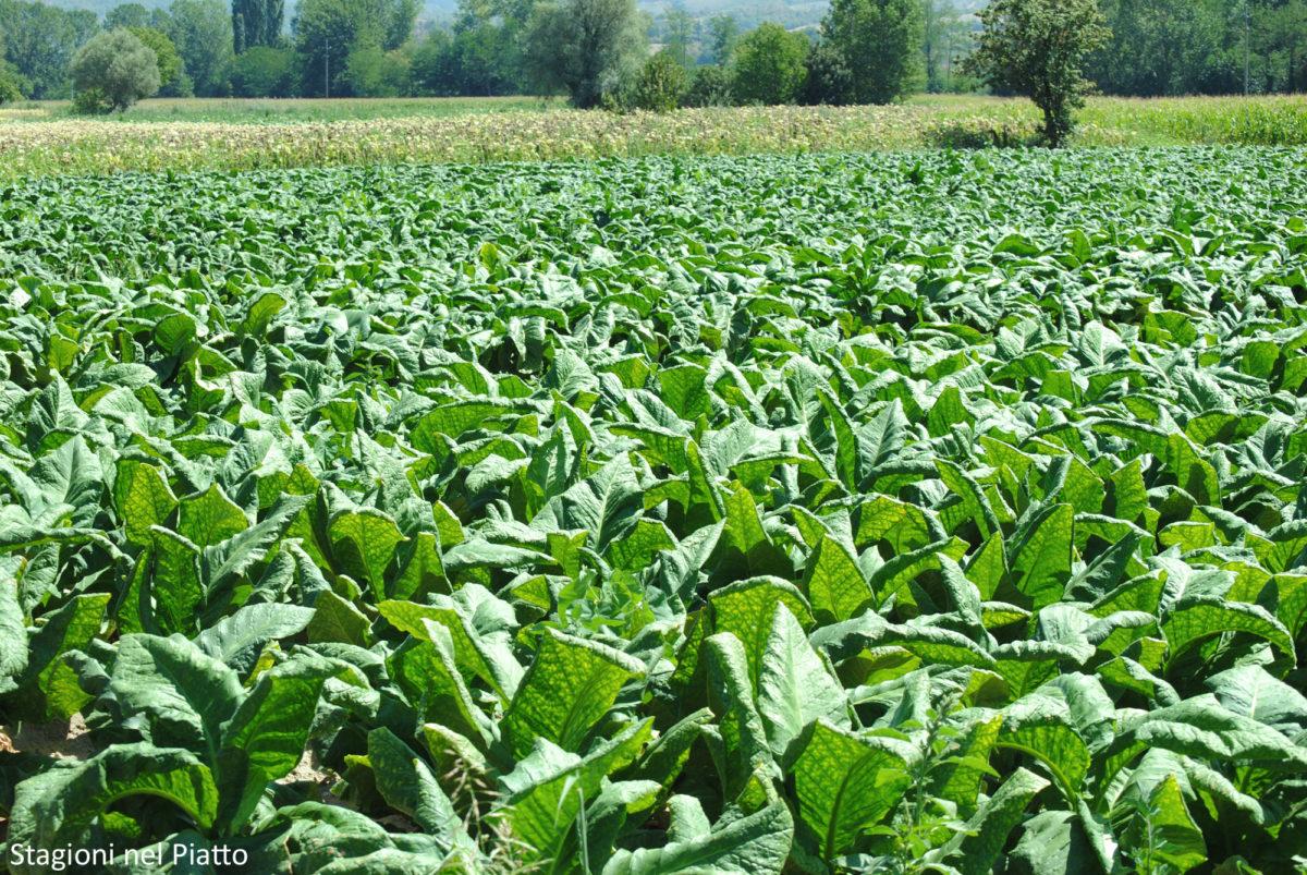 Tabacco Toscana