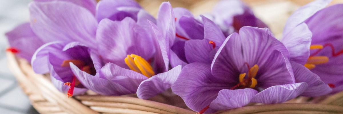 Coltivare zafferano: come farlo in vaso o nell'orto